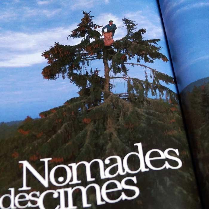 Récolte de graines d'arbres : un épicéa dans le Jura.