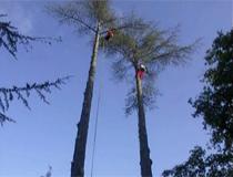 «Effacés !» : une minute pour relever deux arbres
