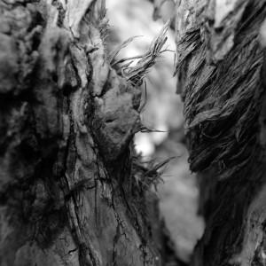 arbre remarquable de l'île Nancy : peuplier incliné