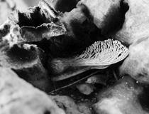 Une graine d'érable dans le peuplier blessé