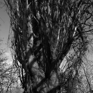 Peuplier d'italie arbre remarquable de l'île Nancy