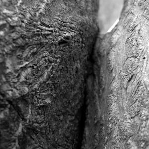 Ailante enlacé détail arbre remarquable de l'ile Nancy