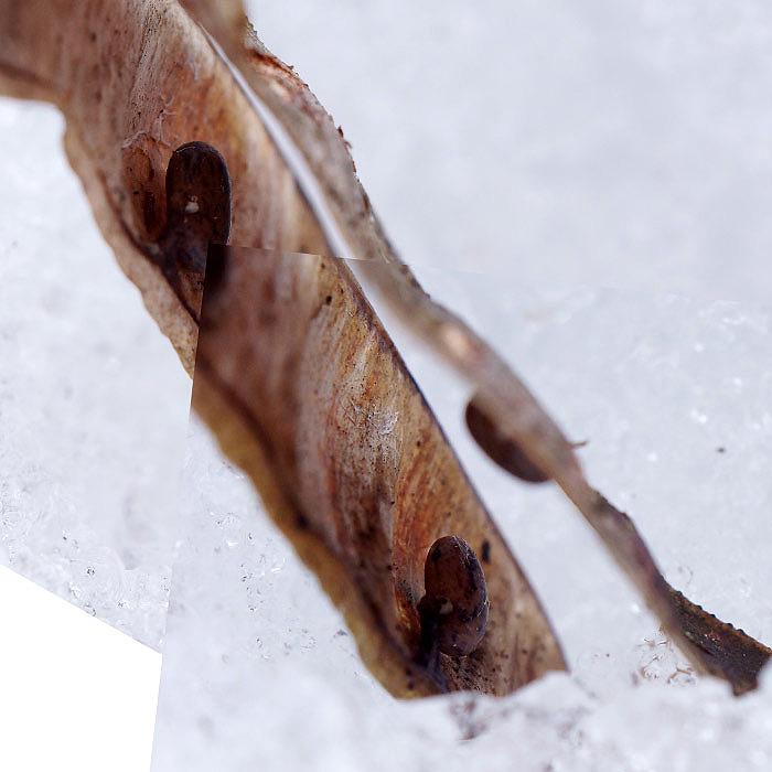 Gousse et graines de robinier
