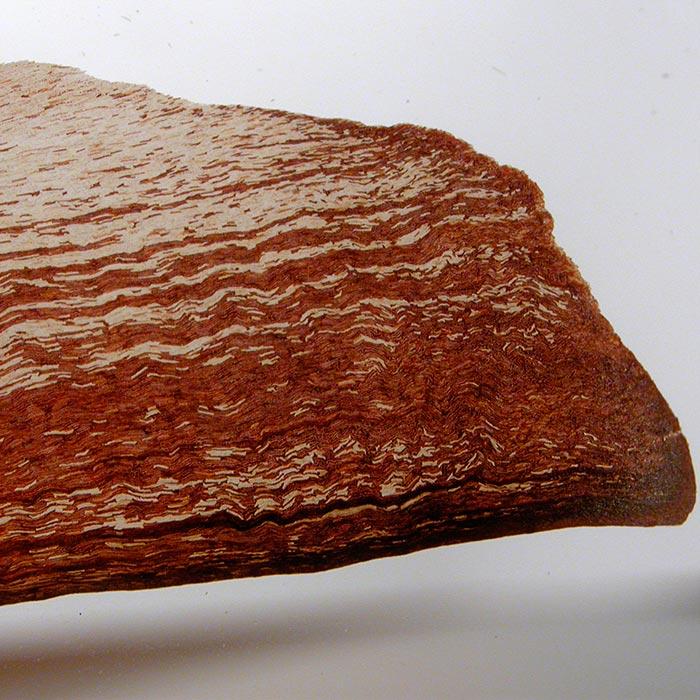 Graines de pin maritime